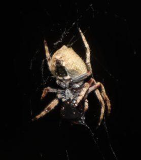 Picture of Eriophora pustulosa (Garden Orb-weaver Spider) - Ventral