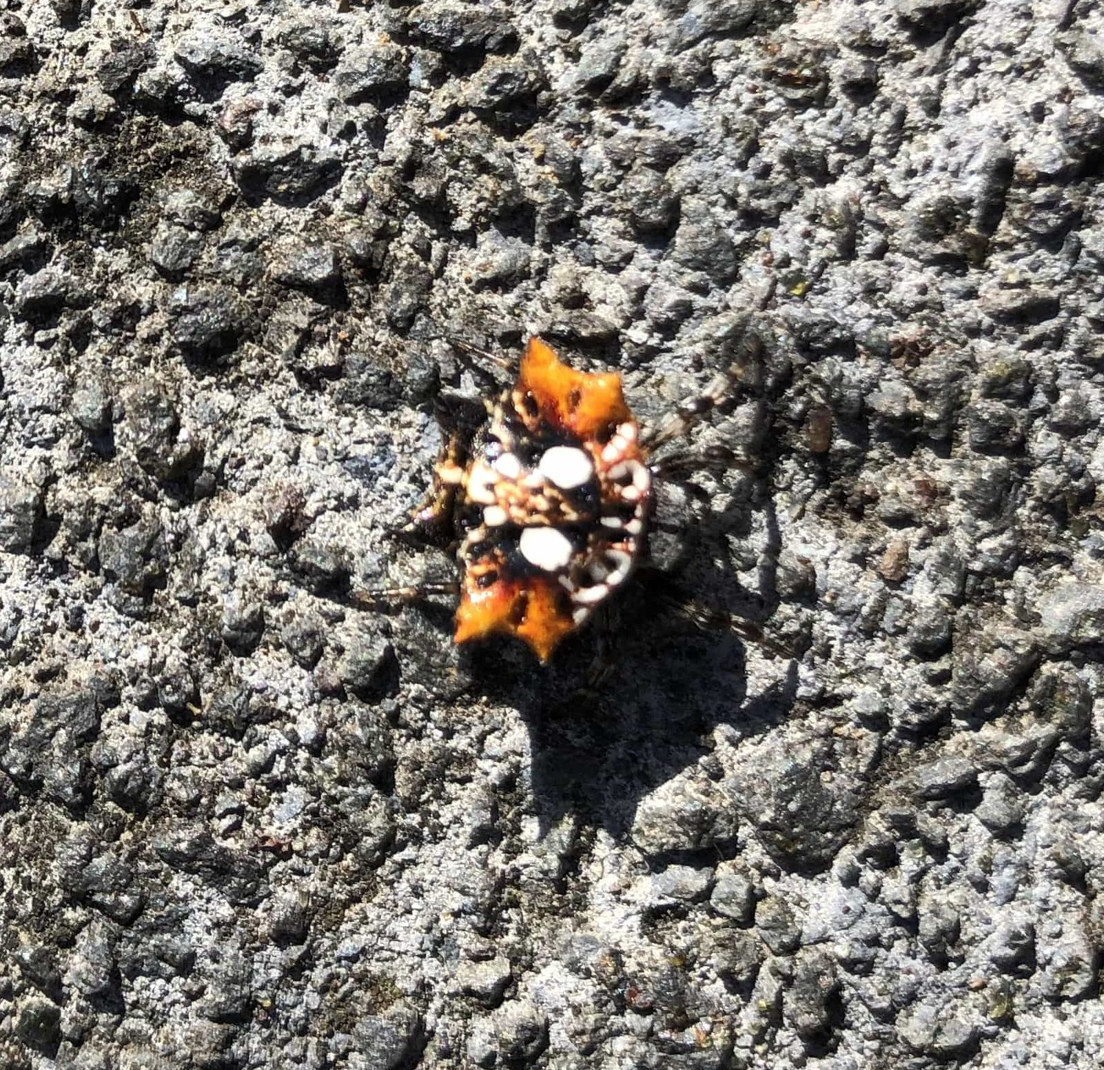 Picture of Thelacantha brevispina (Double Spotted Spiny Spider) - Dorsal