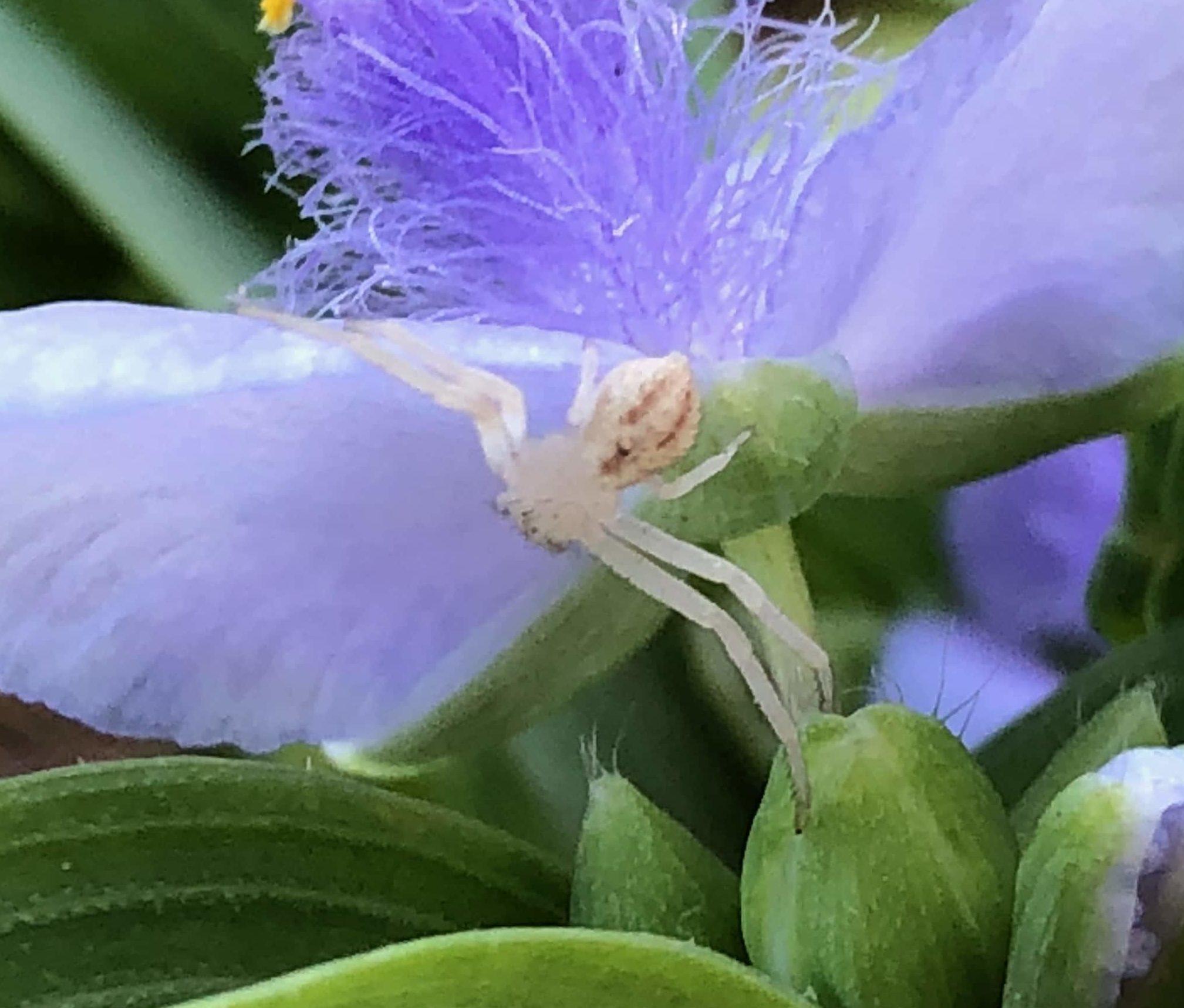 Picture of Mecaphesa - Dorsal