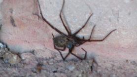 Picture of Eratigena spp. - Lateral