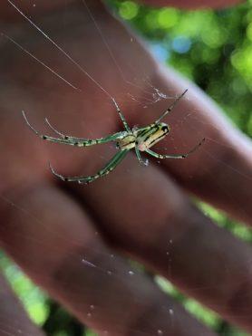 Picture of Leucauge venusta (Orchard Orb-weaver) - Dorsal,Webs
