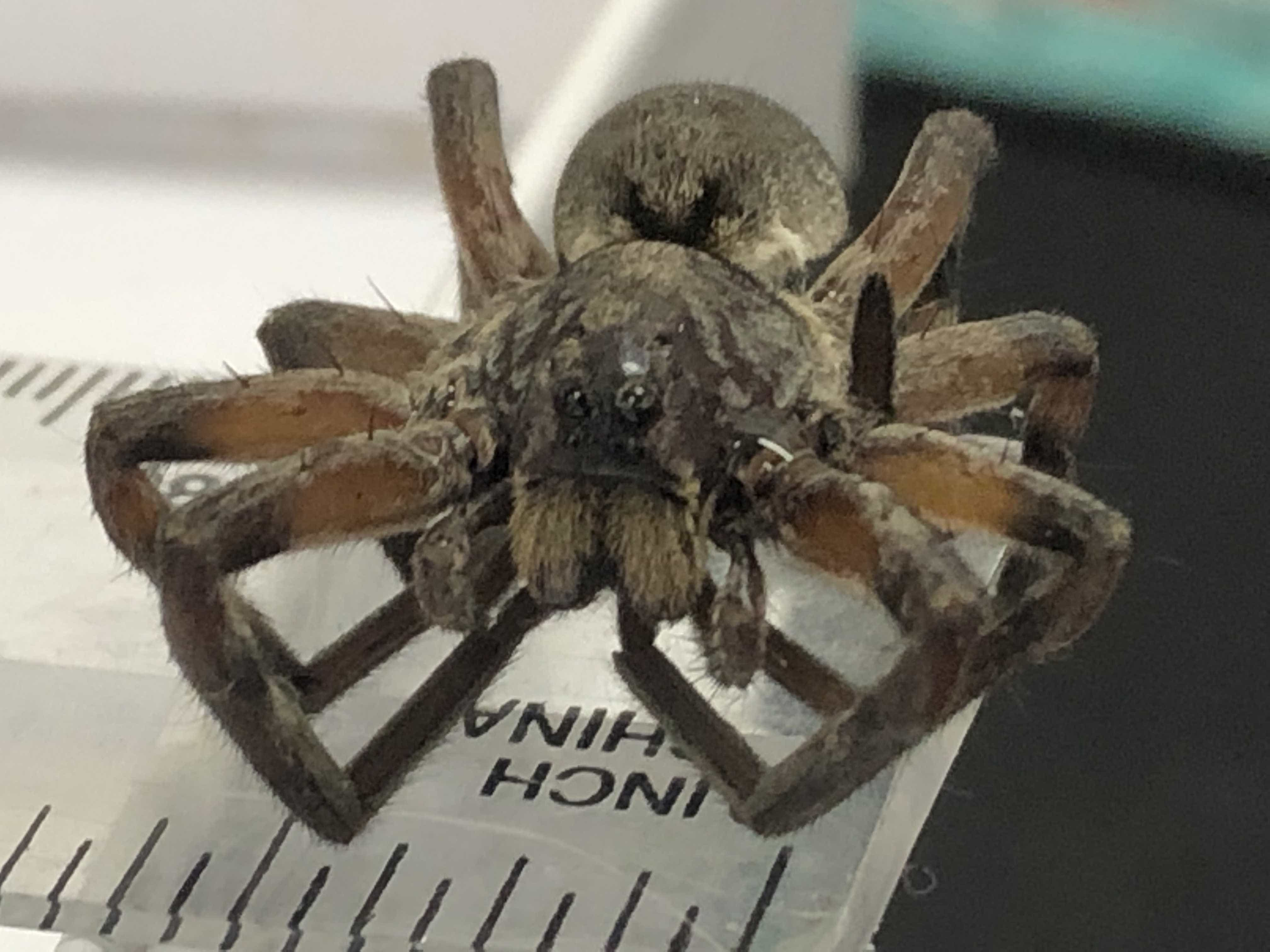 Picture of Geolycosa missouriensis - Dorsal