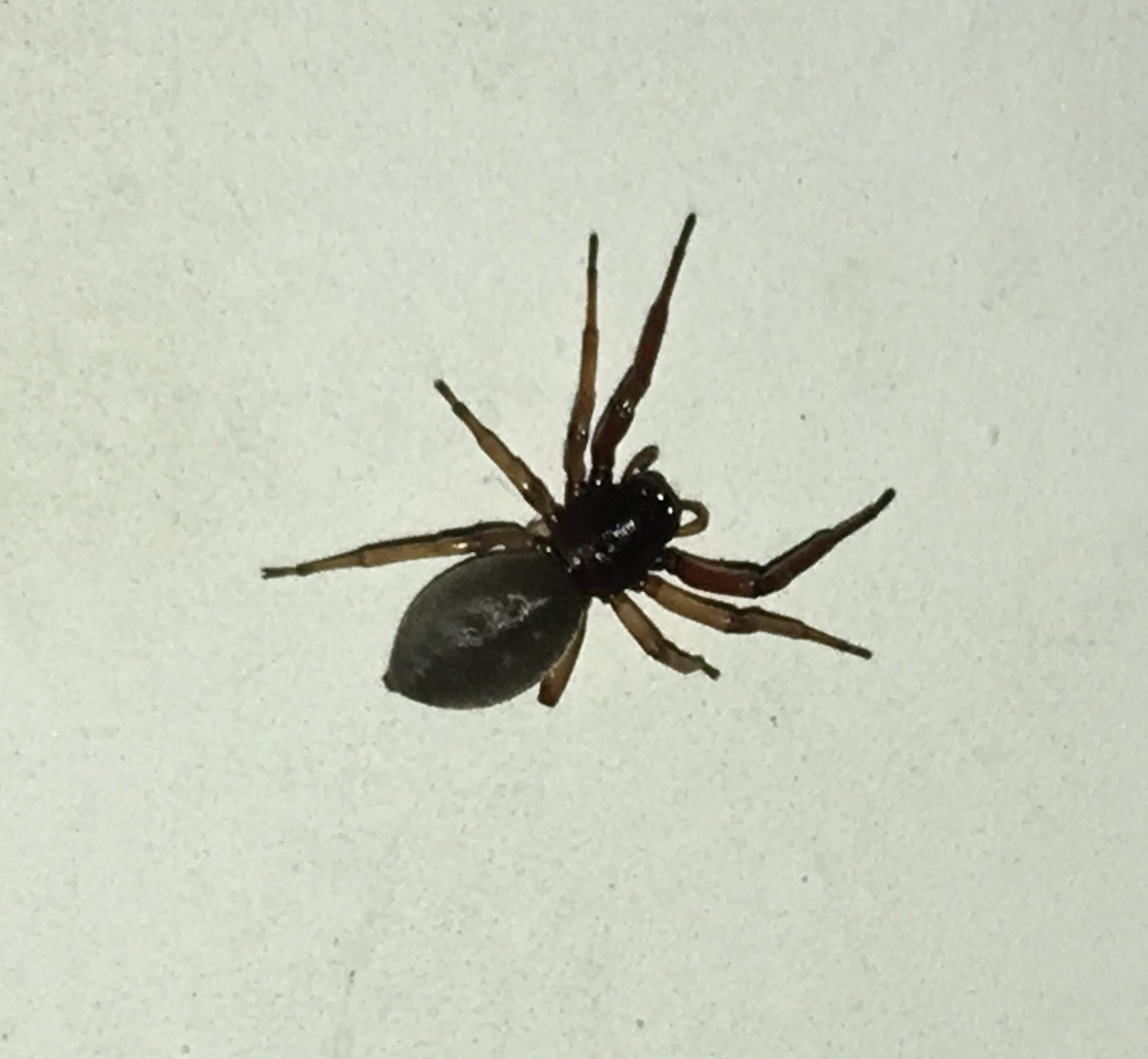 Picture of Trachelas pacificus - Dorsal