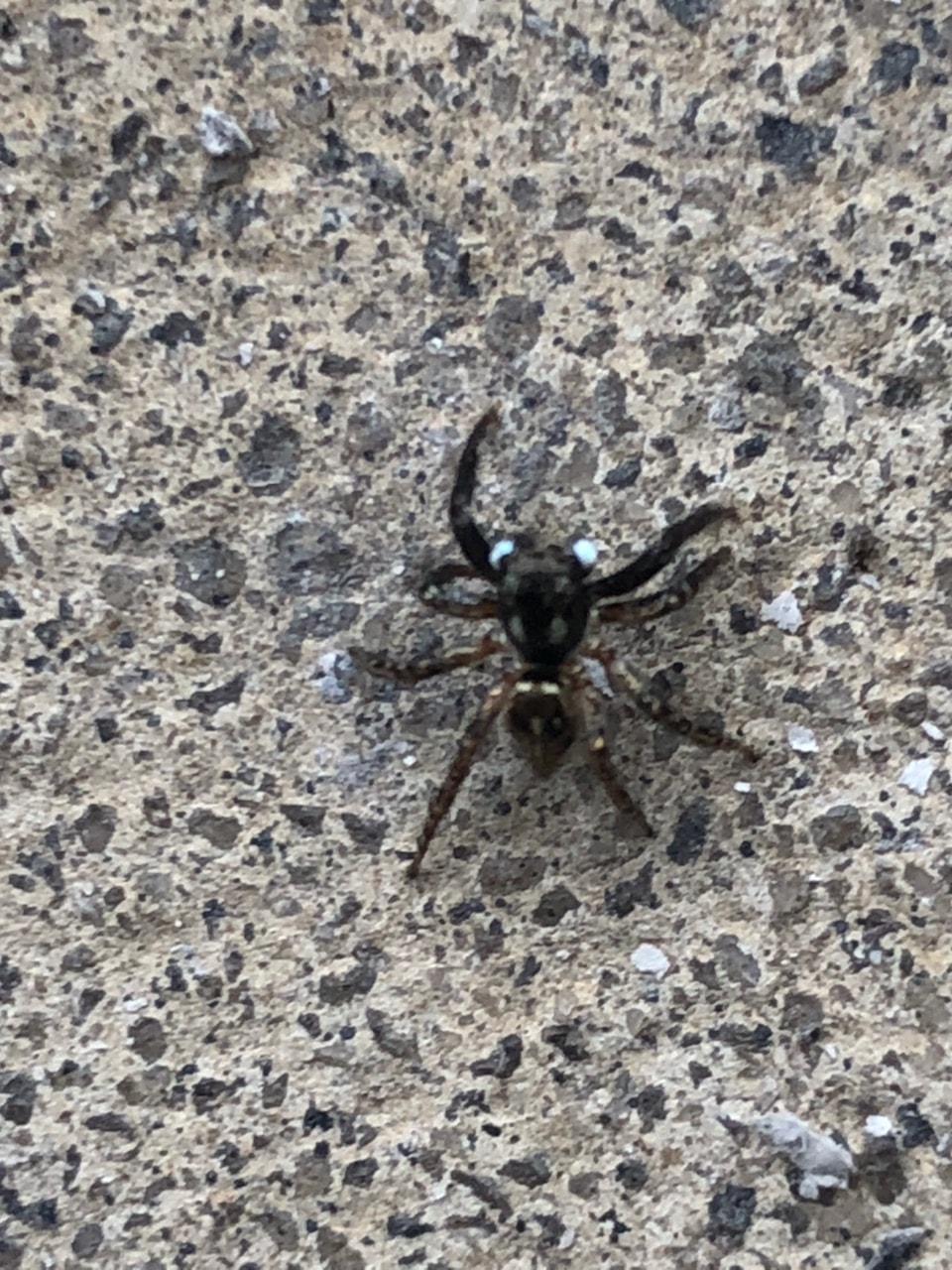 Picture of Anasaitis canosa (Twin-flagged Jumping Spider) - Dorsal