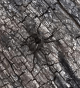 Picture of Pardosa spp. (Thin-legged Wolf Spiders)