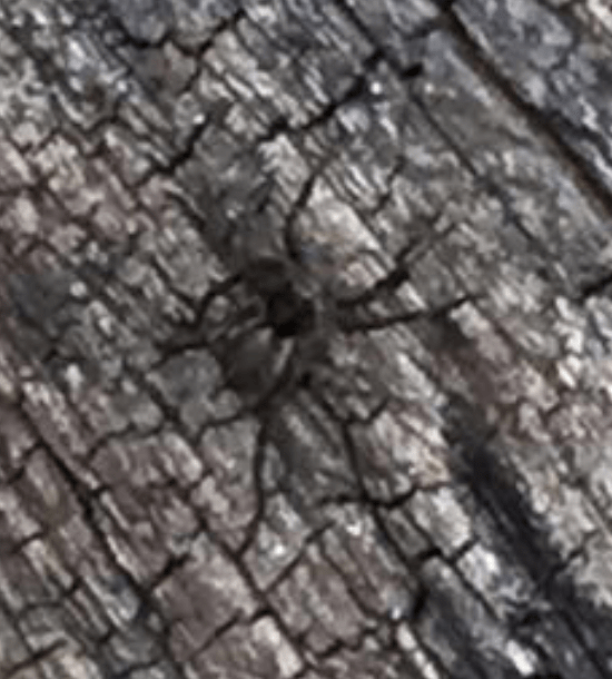 Picture of Pardosa (Thin-legged Wolf Spiders)