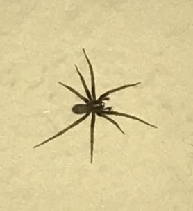 Picture of Agelenidae (Funnel Weavers) - Male - Dorsal