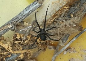 Picture of Latrodectus spp. (Widow Spiders) - Female - Dorsal