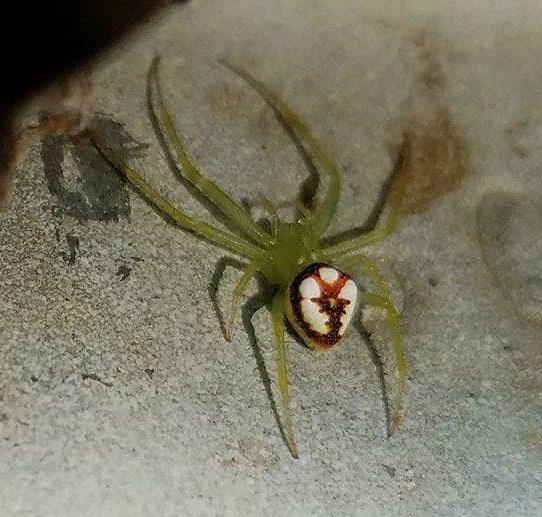 Picture of Araneus guttulatus - Dorsal