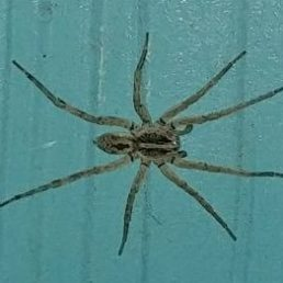 Featured spider picture of Hogna antelucana