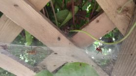 Picture of Agelenopsis spp. (Grass Spiders) - Male,Female - Lateral,Webs