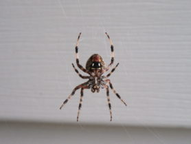 Picture of Neoscona spp. (Spotted Orb-weavers) - Female - Ventral