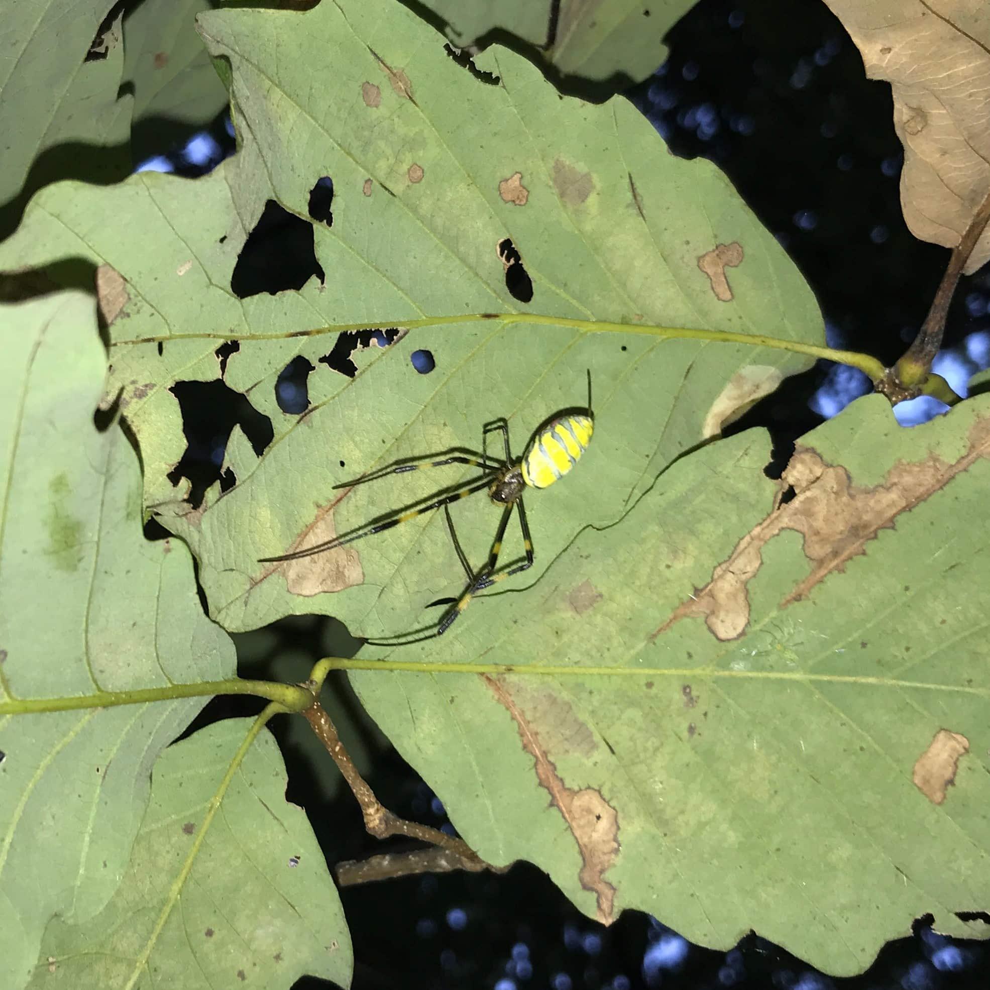 Picture of Trichonephila clavata (Joro spider) - Dorsal