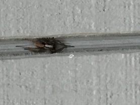 Picture of Alopecosa spp. - Dorsal