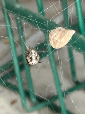 Picture of Parasteatoda tepidariorum (Common House Spider) - Female - Dorsal,Egg sacs,Webs