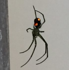 Picture of Leucauge spp. (Silver Orb-weaver) - Ventral