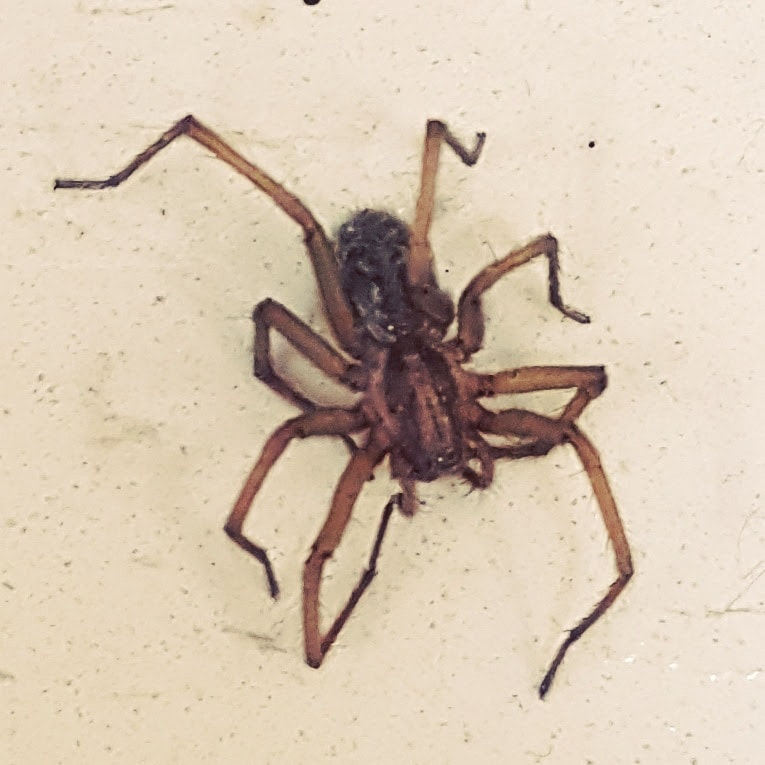 Picture of Eratigena agrestis (Hobo Spider) - Dorsal