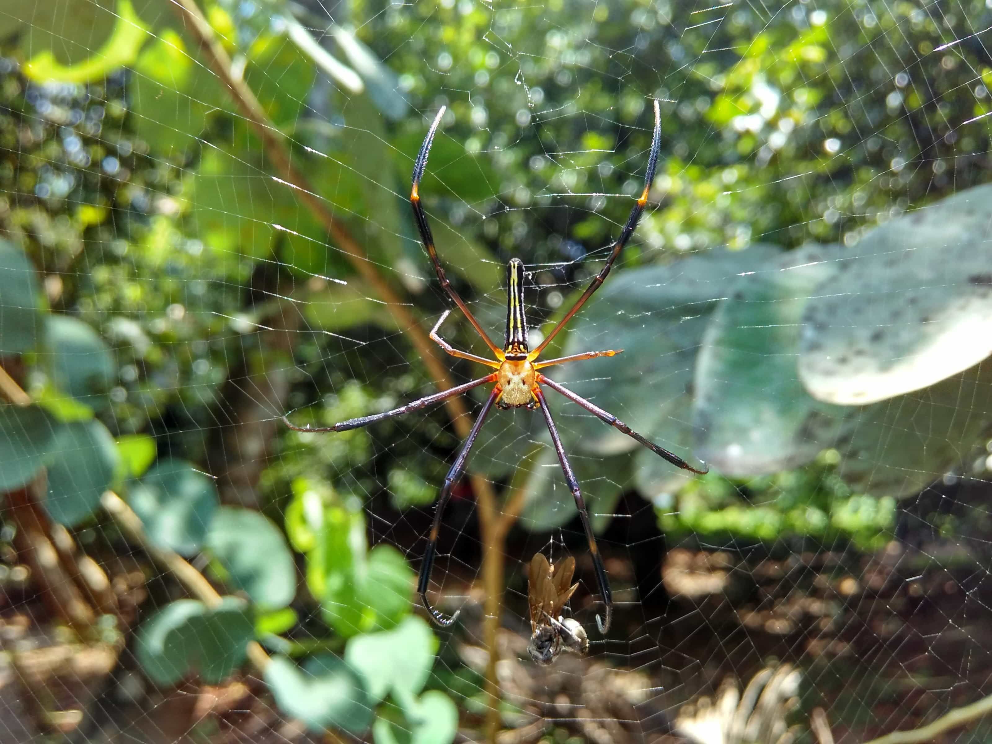 Picture of Nephila pilipes (Giant Golden Orb-weaver) - Dorsal,Webs,Prey