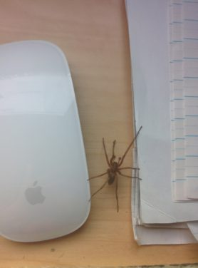 Picture of Eratigena agrestis (Hobo Spider) - Male - Dorsal