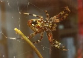 Picture of Neoscona crucifera (Hentz Orb-weaver) - Female - Ventral,Webs