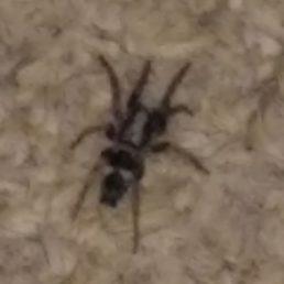 Featured spider picture of Sergiolus montanus