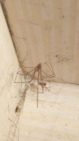 Picture of Pholcidae (Cellar Spiders) - Female - Dorsal,Egg Sacs,Lateral,Webs