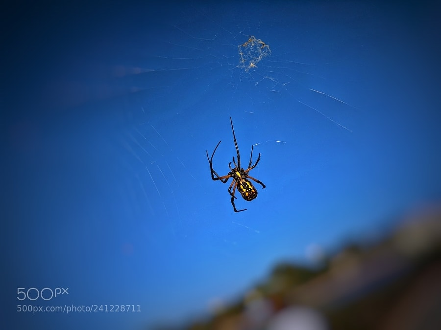 Picture of Argiope aurantia (Black and Yellow Garden Spider) - Female - Ventral,Webs