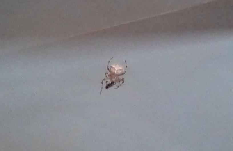 Picture of Araneus gemmoides (Cat-faced Spider)