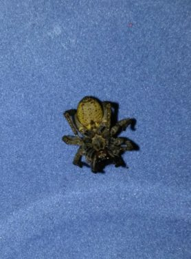 Picture of Lycosidae (Wolf Spiders) - Female - Ventral