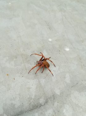 Picture of Eriophora ravilla (Tropical Orb-weaver) - Lateral