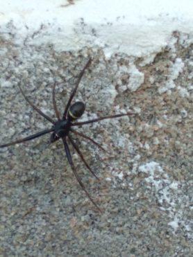 Picture of Steatoda spp. (False Widows) - Male - Dorsal