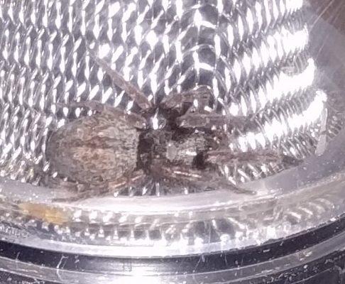 Picture of Badumna longinqua (Grey House Spider) - Dorsal
