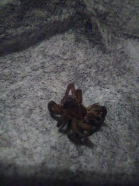Picture of Tigrosa helluo - Dorsal