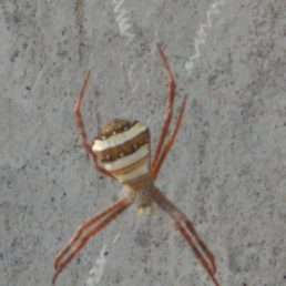 Featured spider picture of Argiope pulchella