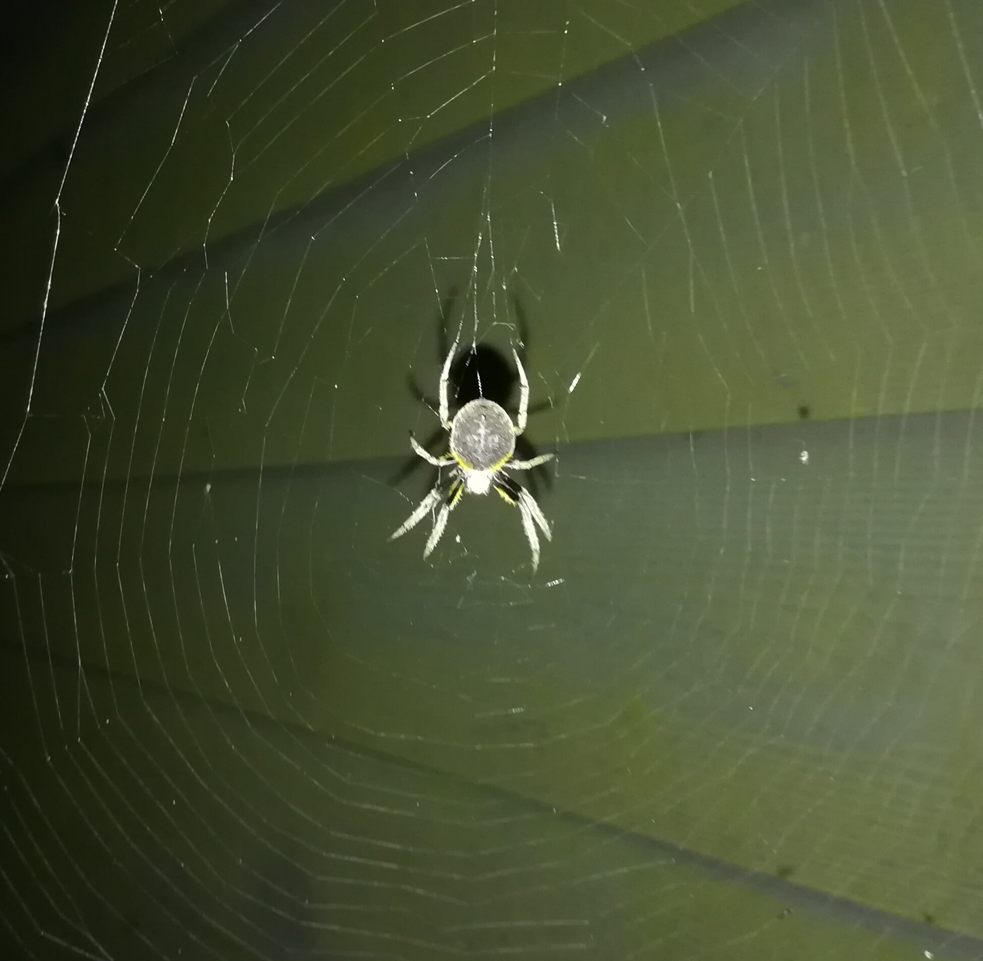 Picture of Eriophora ravilla (Tropical Orb-weaver) - Female - Dorsal,Webs