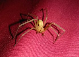 Picture of Loxosceles reclusa (Brown Recluse) - Male - Dorsal,Eyes