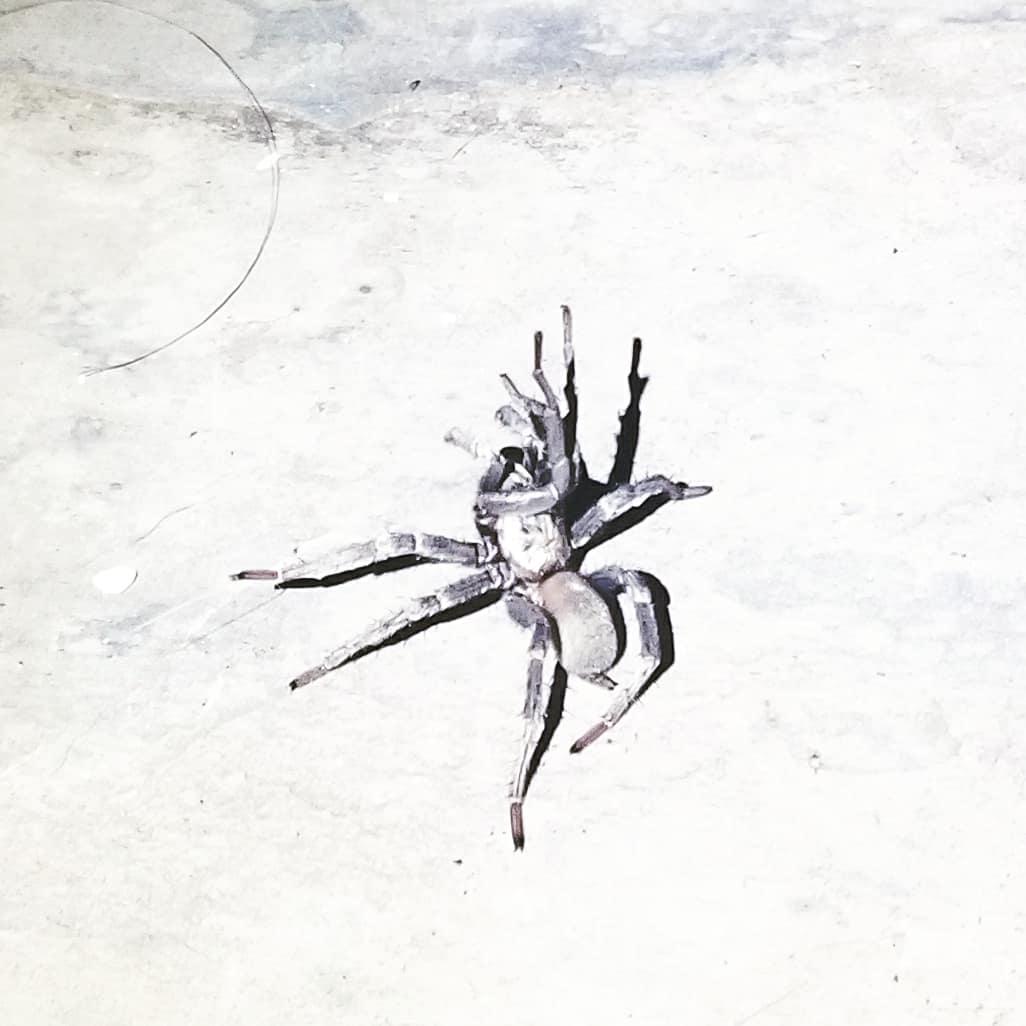 Picture of Calisoga (False Tarantulas) - Lateral
