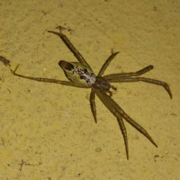 Featured spider picture of Cyrtophora cicatrosa