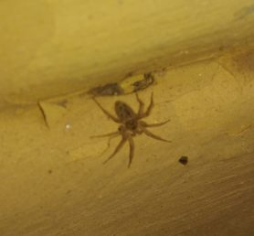 Picture of Oecobius spp. - Dorsal