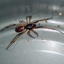 Featured spider picture of Steatoda capensis (False Katipo Spider)
