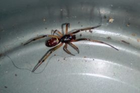 Picture of Steatoda capensis (False Katipo Spider) - Male - Dorsal