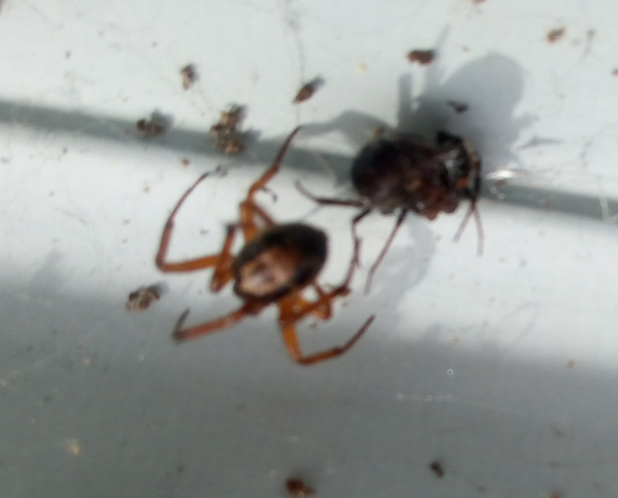 Picture of Steatoda nobilis (Noble False Widow) - Dorsal,Prey
