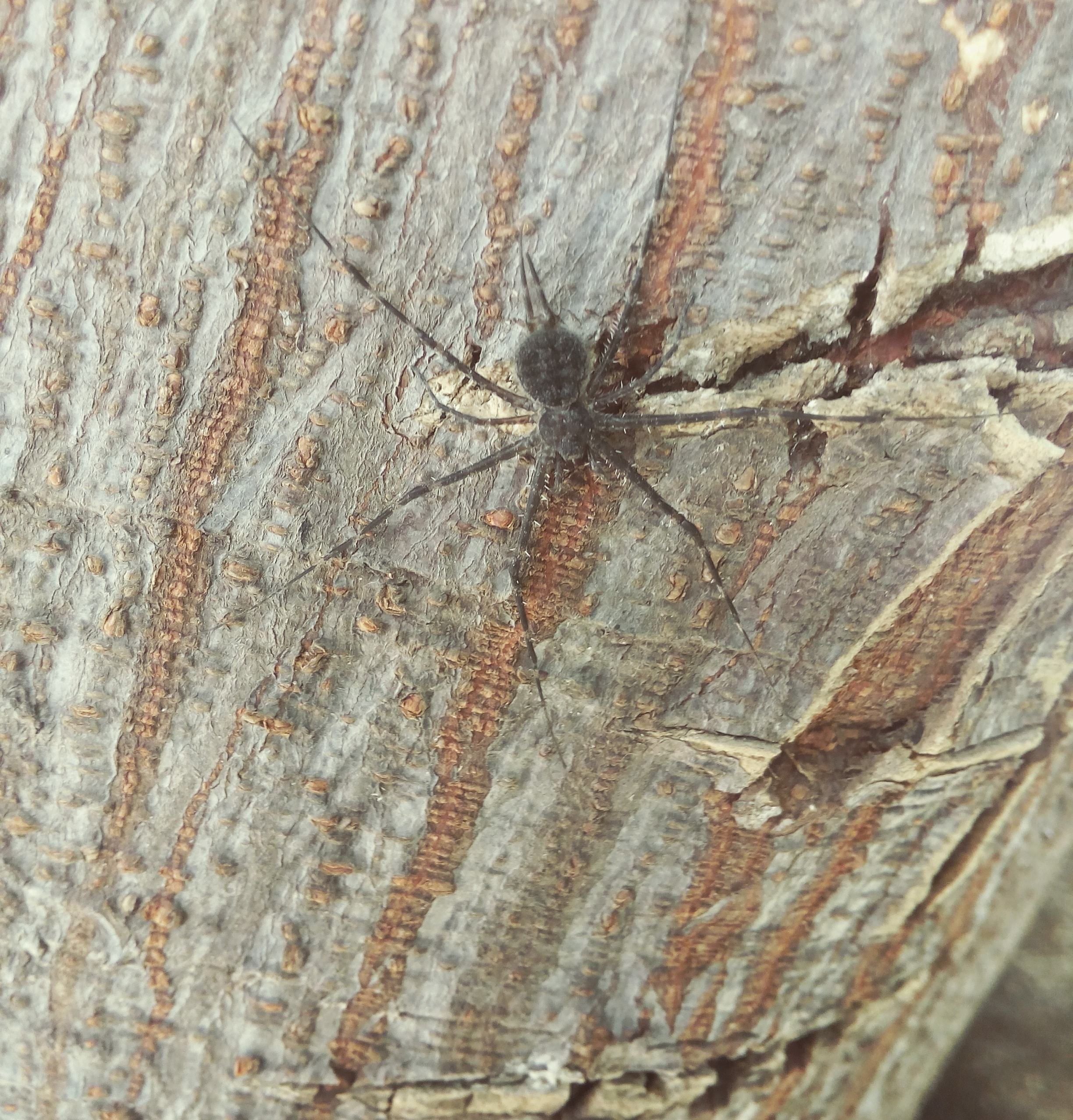 Picture of Hersiliidae (Two-tailed Spiders) - Dorsal