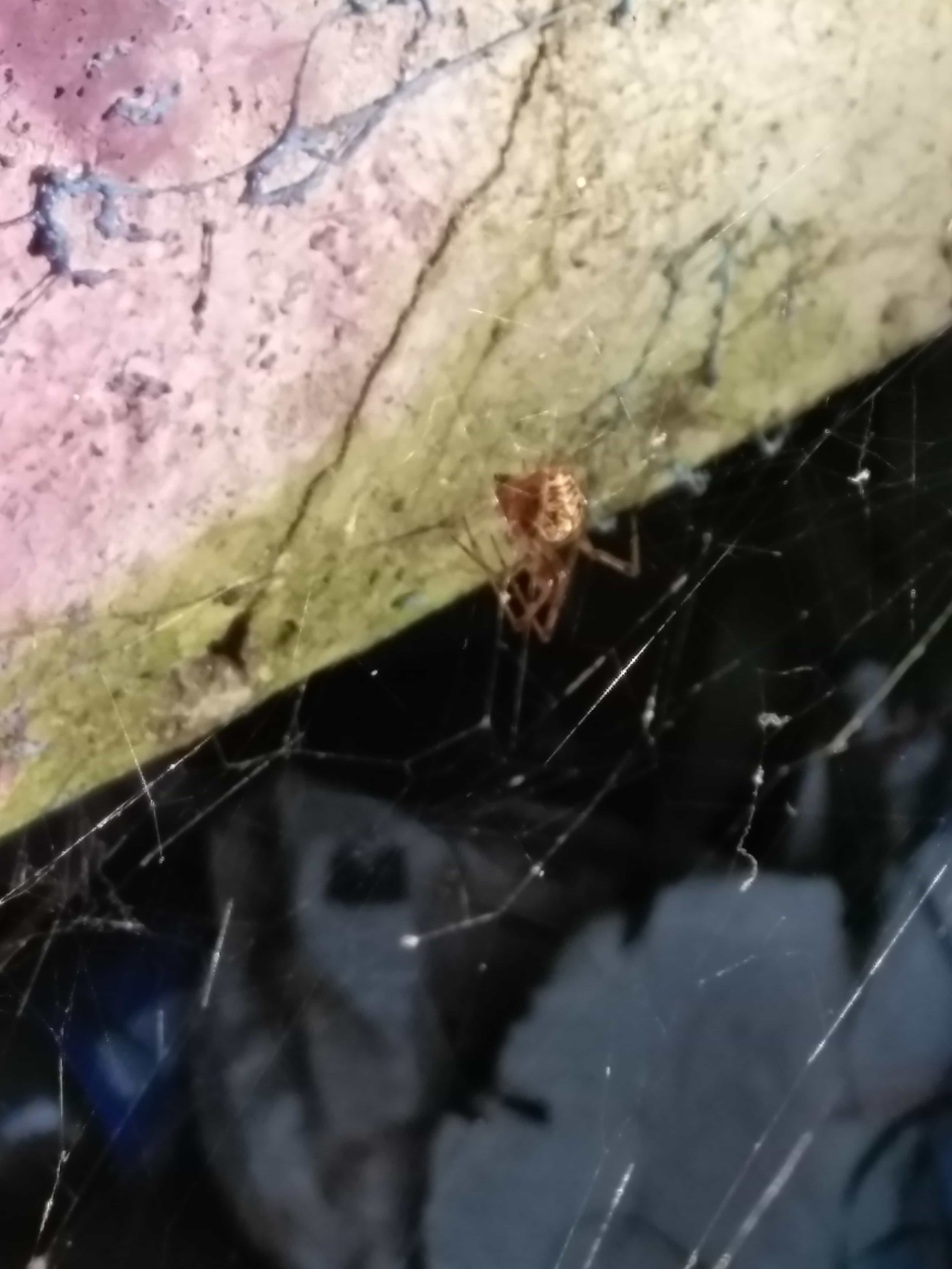 Picture of Parasteatoda - Webs