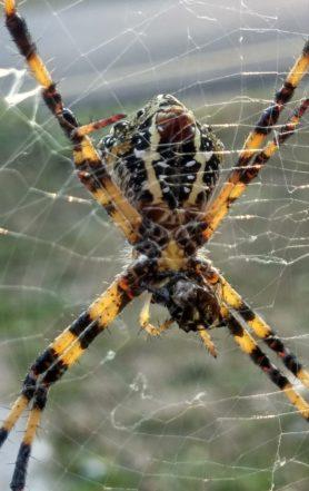 Picture of Argiope spp. (Garden Orb-weavers) - Ventral,Webs,Prey