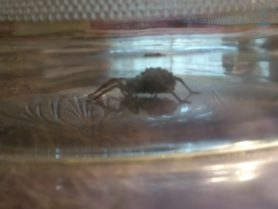 Picture of Lycosidae (Wolf Spiders) - Female - Lateral