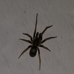 Featured spider picture of Pritha pallida