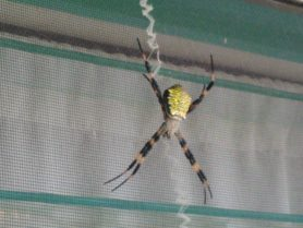 Picture of Argiope appensa (Hawaiian Garden Spider) - Female - Dorsal,Webs