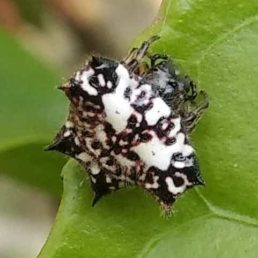 Featured spider picture of Gasteracantha kuhli (Black-and-white Spiny Spider)
