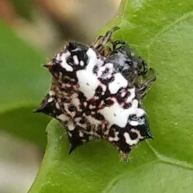 Picture of Gasteracantha kuhli (Black-and-white Spiny Spider) - Dorsal